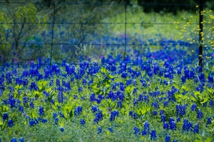 Bluebonnet field - labeled for reuse